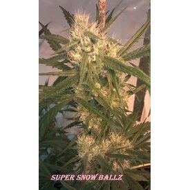 Mota Rebel Mota Rebel Super Snow Ballz Reg 10 pk