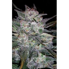 Mephisto Mephisto -original Auto Blues Auto 7 pack