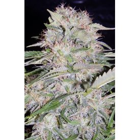 Mephisto Mephisto -original Sour Bubbly Auto 7 pack