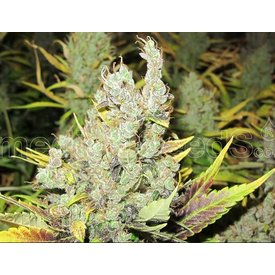 Medical Seeds Medical Seeds 2046 5 pack