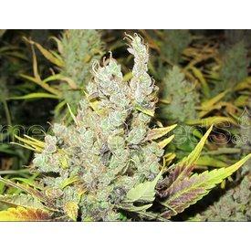 Medical Seeds Medical Seeds 2046 Fem 5 pk