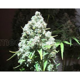 Medical Seeds Medical Seeds Malakoff 5 pack