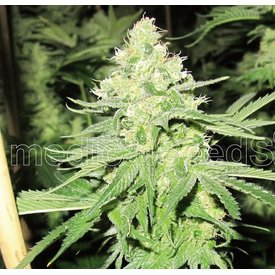 Medical Seeds Medical Seeds No Name Fem 5 pk
