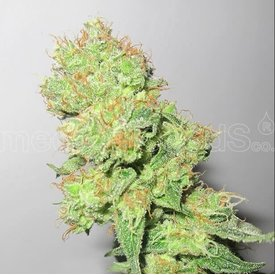Medical Seeds Medical Seeds Y Griega 5 pack