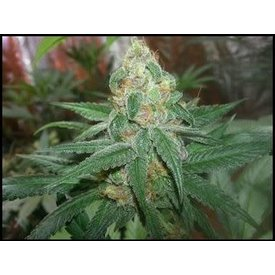 Irie Genetics Irie Genetics Black Cherry Chem 5 pack