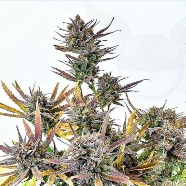 In House Genetics Sweet Cherry Pie Reg 10 pk