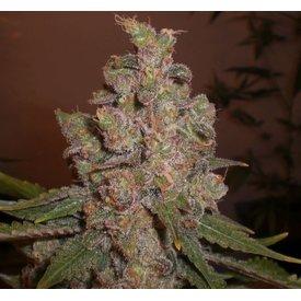 Expert Seeds LSD Poison Reg 5 pk