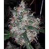 Digital Genetics Albino Fire Skunk OG Reg 13pack