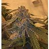 CSI-Humbolt/Purple Urkle Savage Purple Fem 11pack