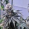 CSI-Humbolt/Purple Urkle Violet Flame Fem 11 pk