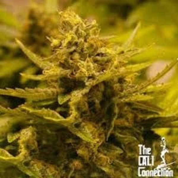 Cali Connection Cali Connection CBD OG Fem 6 pk