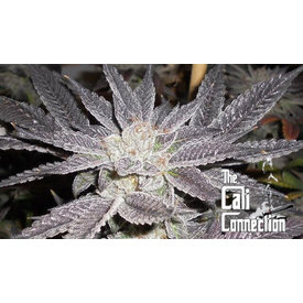 Cali Connection LA Affie Fem 6 pk