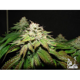 Cali Connection Pre 98 Bubba BX2 Fem 6 pk