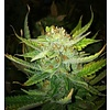 Cali Connection California Dreaming Reg 10pack