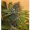 CSI-Humboldt/Mendo Purps Mendocino #Plant Fem 11pack