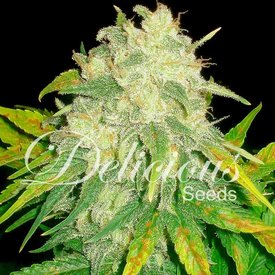 Delicious Seeds Delicious Seeds Il Diavolo Auto Fem 5 pack