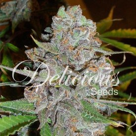 Delicious Seeds Delicious Seeds La Diva Auto Fem 5 pack
