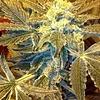 Healing Fields Reg 10 pk