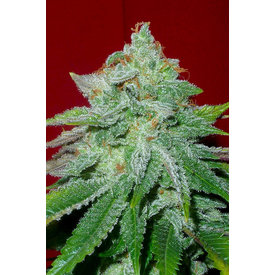 Gage Green Genetics Gage Green Group Starlet Kush Reg 10 pk