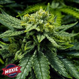 Moxie Moxie Lemon Haze Reg 12 pk