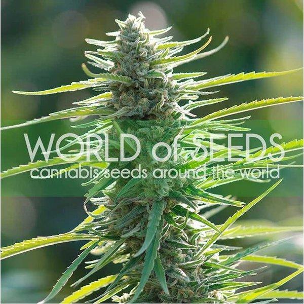 World of Seeds World of Seeds Colombian Gold Fem 7 pk