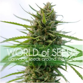 World of Seeds World of Seeds Kilimanjaro Fem 7 pack