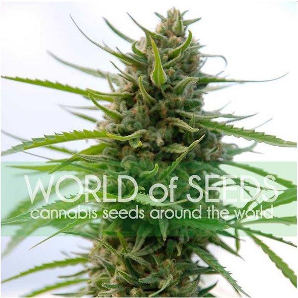 World of Seeds Kilimanjaro Fem 7 pk
