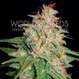 World of Seeds World of Seeds Mazar x White Rhino Fem 7 pk