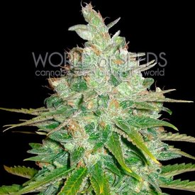 World of Seeds World of Seeds Afghan Kush x Black Domina Fem 7 pk