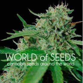 World of Seeds Brazil Amazonia Fem 7 pk
