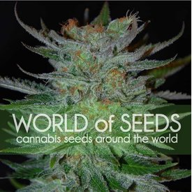 World of Seeds New York 47 Fem 7 pk