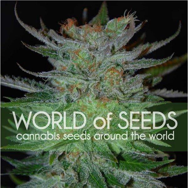 World of Seeds New York 47 Fem 7 pk