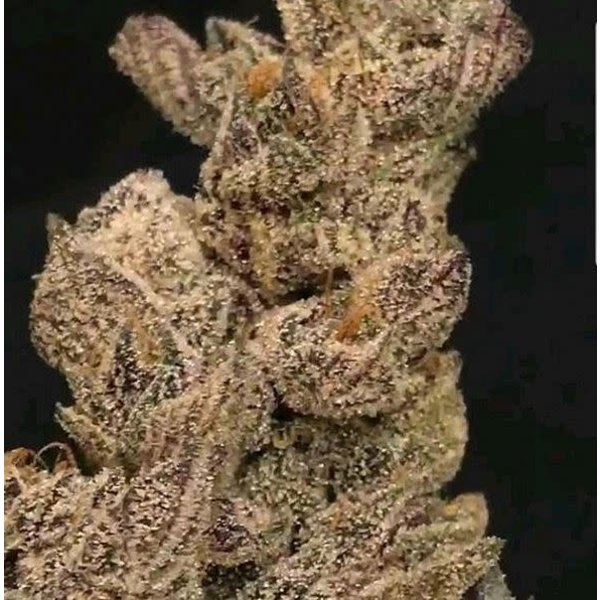 In House Genetics Dolato  S1 Fem 10 pk