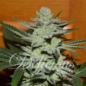 Delicious Seeds Delicious Seeds Unknown Kush  (aka Desconocida Kush) Fem 5 pk