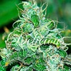 Delicious Seeds Fruity Chronic Juice Fem 5 pack