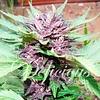 Delicious Seeds Auto Dark Purple Fem 5pk