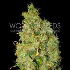 World of Seeds World of Seeds Northern Lights x Skunk Fem 7 pk