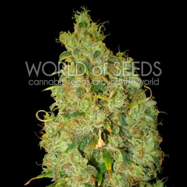 World of Seeds World of Seeds Northern Lights x Skunk Fem 7 pack