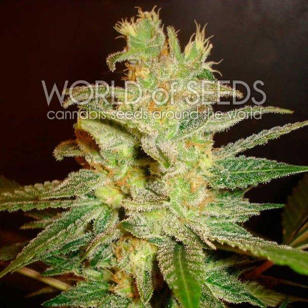 World of Seeds Northern Lights x Big Bud Fem 7 pk