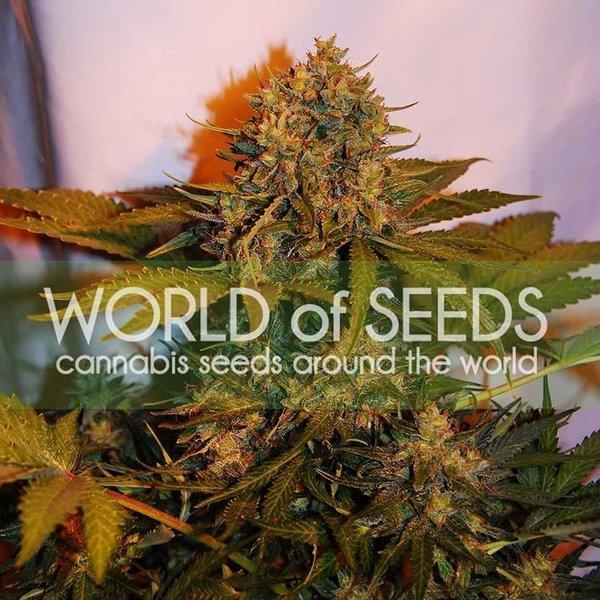 World of Seeds World of Seeds Northern Lights x Big Bud x Ryder Auto 7 pk