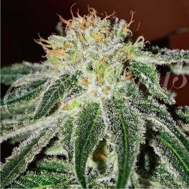 Delicious Seeds Delicious Seeds Black Russian Fem 5 pk