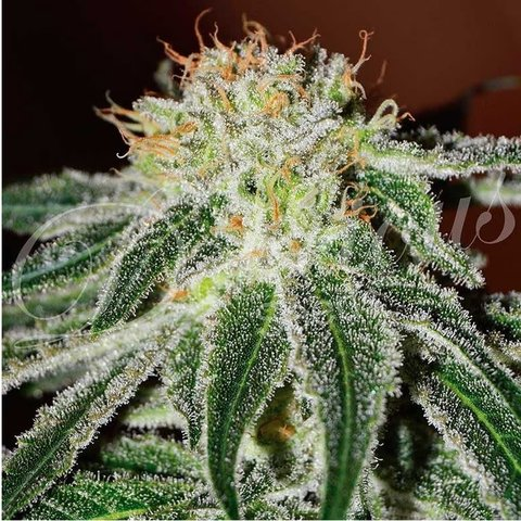 Delicious Seeds Black Russian Fem 5 pack