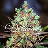 Delicious Seeds Cotton Candy Kush Fem 5 pack