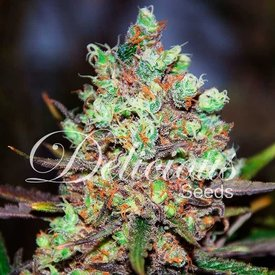 Delicious Seeds Cotton Candy Kush Fem 5 pk