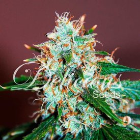 Delicious Seeds Delicious Seeds Critical Neville Haze 2.0 Fem 5 pack