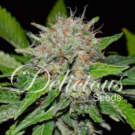 Delicious Seeds Delicious Seeds Deep Mandarin Fem 5 pack