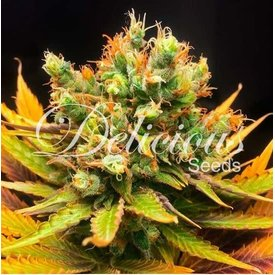 Delicious Seeds Honeybells (cbd) Fem 5 pk