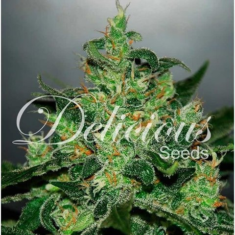 Delicious Seeds Critical Jack Herer Auto Fem 5 pk