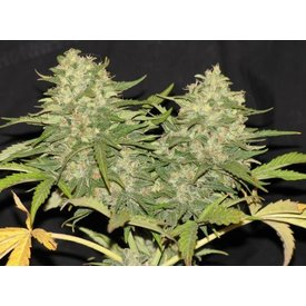 Delicious Seeds Delicious Seeds Critical Super Silver Haze Fem 5 pack