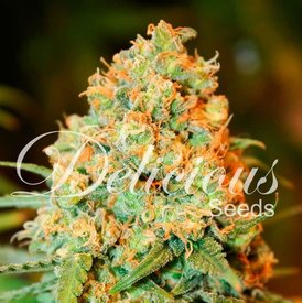 Delicious Seeds Critical Super Silver Haze Fem 5 pk